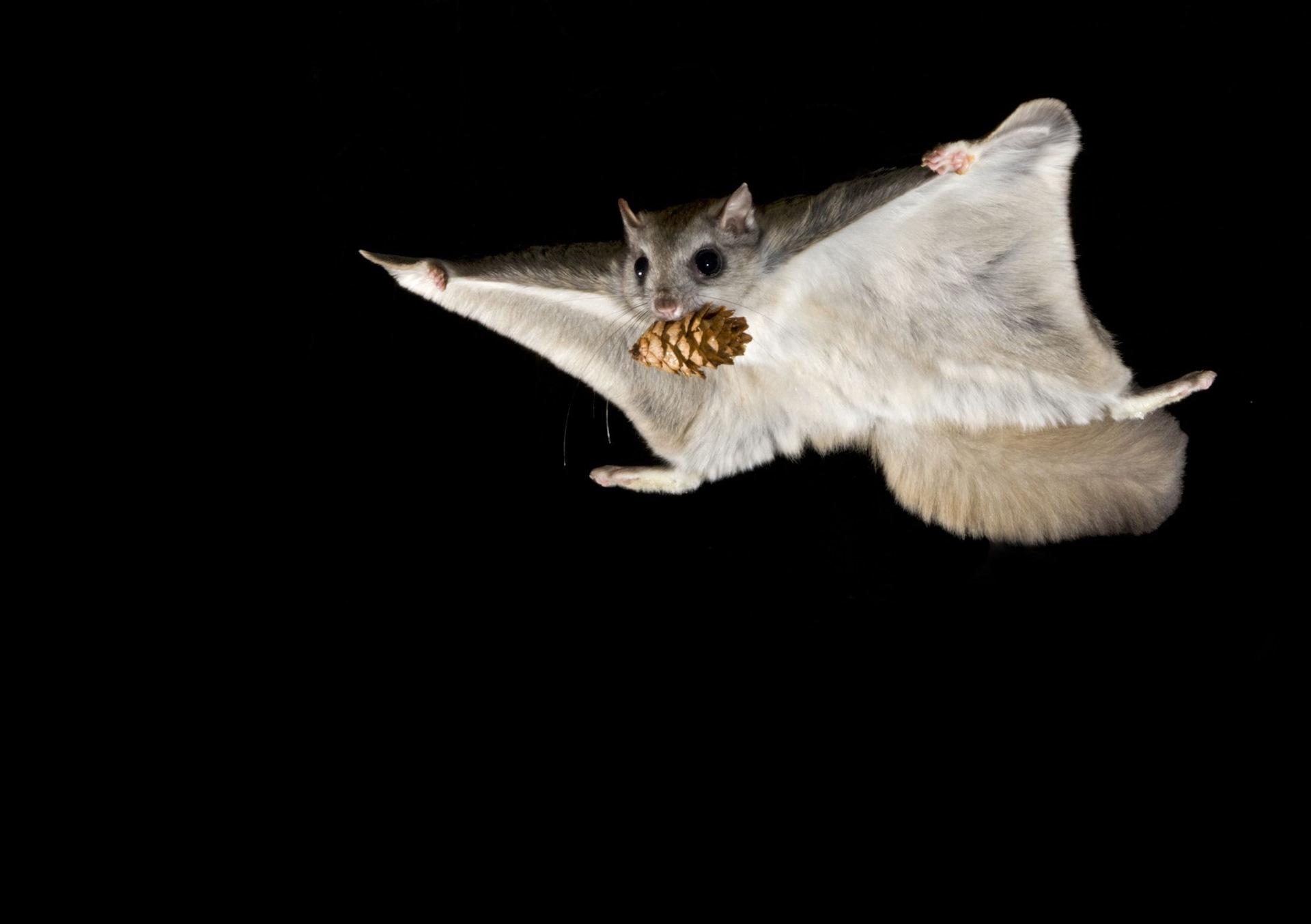 выполнен фото белка летяга в полете подложка