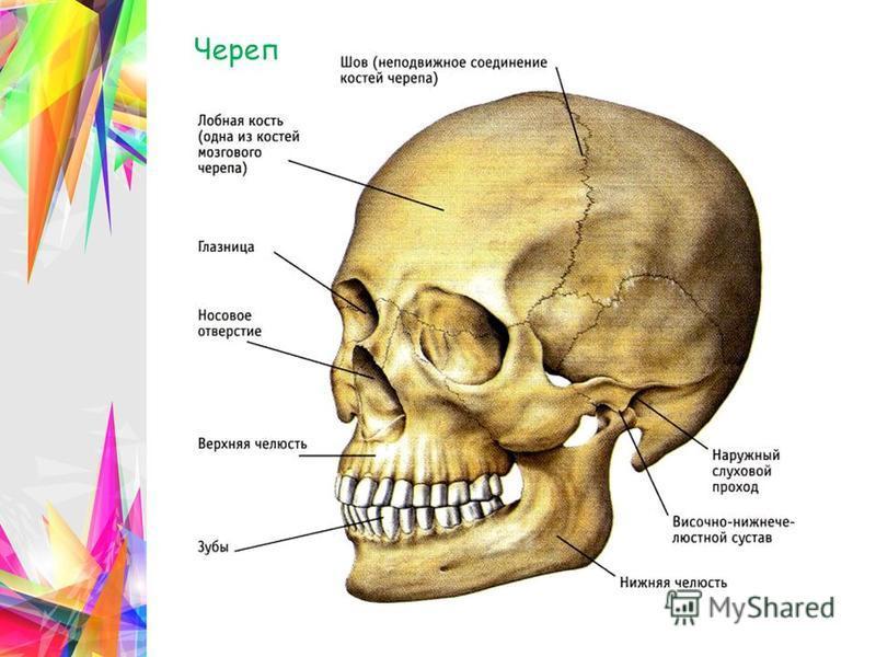 Соединение черепа в картинках
